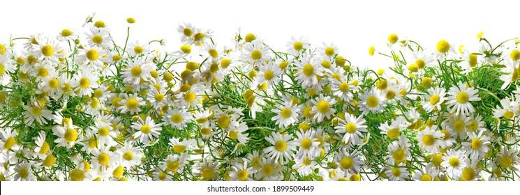 Chamomile Flower Blossom Panorama isolated on white Background