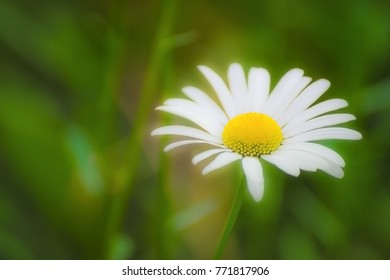 Chamomile flower a blurred background.