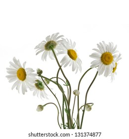 chamomile flower bouquet isolated on white