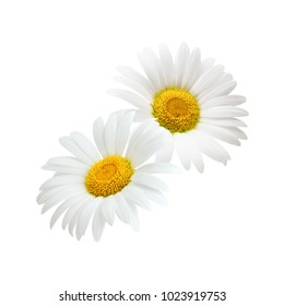 Chamomile flower composition isolated on white background as package design element.