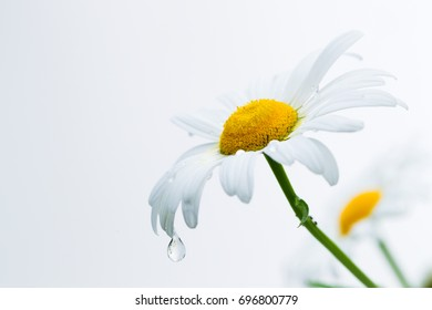 Chamomile flower with falling drops of water on a white background