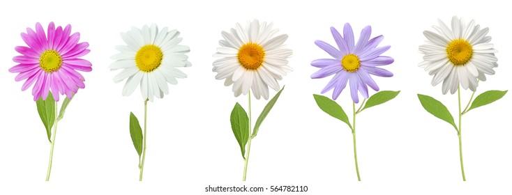 chamomile flower isolated