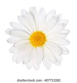 Chamomile flower isolated. Daisy. Macro