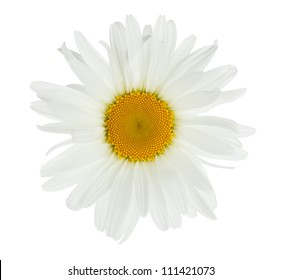 Chamomile flower. Isolated on white background
