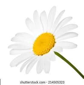 Chamomile flower isolated on white background. Macro shot