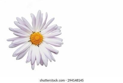 Chamomile flower isolated on white