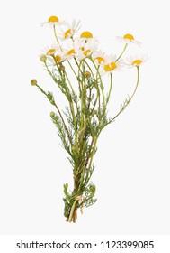 Chamomile flower,  Matricaria chamomilla