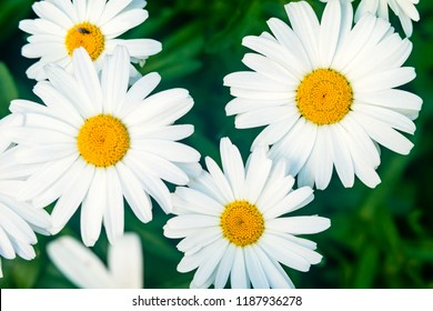 Chamomile flower (Matricaria) on background of a green grass.