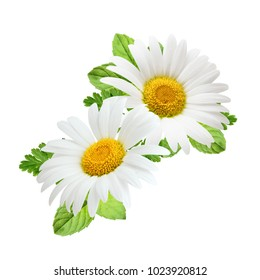 Chamomile flower with mint leaves composition isolated on white background as package design element.