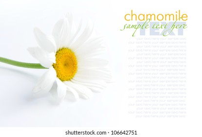 Chamomile flower on a white background with space for text