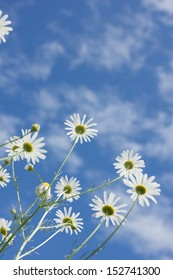 Chamomile flowers against the blue sky