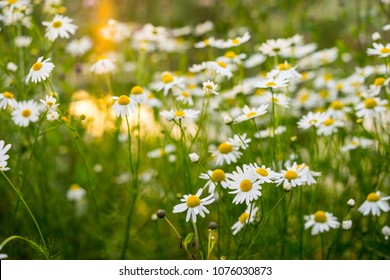 Chamomile flowers in beautiful nature scene. Blooming medical chamomilles in sun flare. Beautiful blooming daisy field. Daisy flower background.