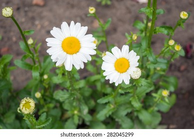 Chamomile flowers and buds