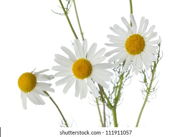 Chamomile flowers close up on white background