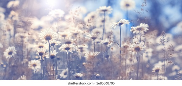 Chamomile flowers in the field against the blue sky in the sunlight, border. Beautiful spring natural art background. Selective focus, toned photo