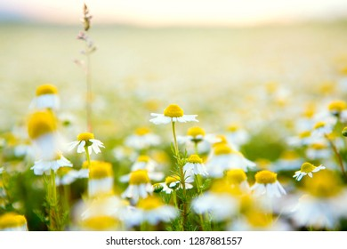 Chamomile flowers field background. Beautiful natural blooming medicinal chamomiles in field. Alternative medicine spring daisy plant. Summer white daisy flowers. Chamomile flowers daisy herb field