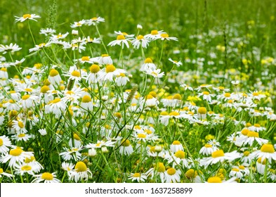 Chamomile flowers field. Background with beautiful blooming medical roman chamomiles. Alternative medicine and natural health care concept. Selective focus.