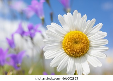 Chamomile flowers field background in sun light. Summer Daisies. Beautiful nature scene with blooming medical chamomilles. Alternative medicine. Camomile Spring flower background Beautiful meadow