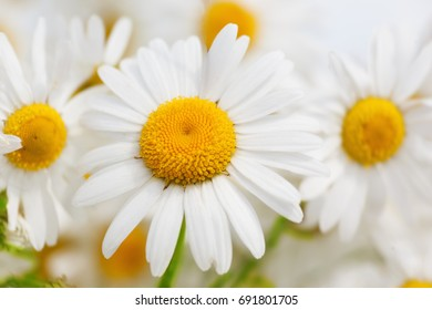Chamomile flowers field  in sun ligh. Chamomile close-up .Daisies background. Beautiful nature scene. Summer background.Chamomile field. Beautiful meadow.
