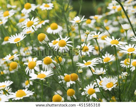 Chamomile flowers field white petals yellow stock photo edit now chamomile flowers in the field white petals yellow center mightylinksfo