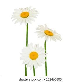 chamomile flowers isolated on white
