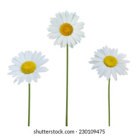 chamomile flowers isolated on white