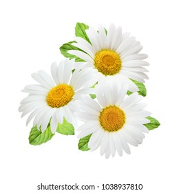 Chamomile flowers with mint leaves composition isolated on white background as package design element.
