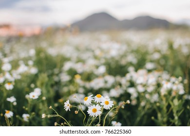 Chamomile flowers in the mountains, chamomile field