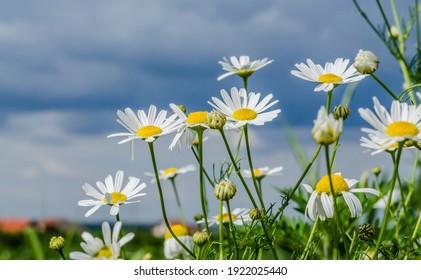 Chamomile flowers on a grassy field in Petrovaradin, Novi Sad, Vojvodina, Serbia