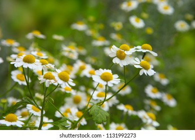 chamomile flowers on a green background