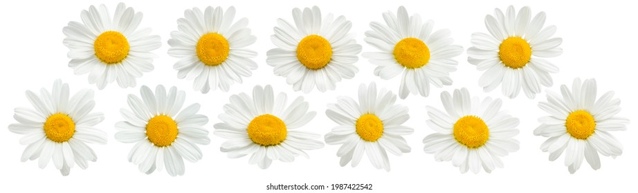 Chamomile flowers set isolated on white background. Package design elements with clipping path
