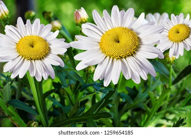 Chamomile flowers  in summer,blurred background