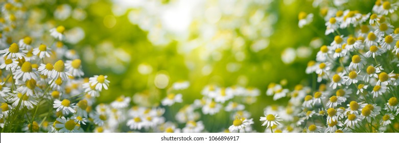 Chamomile garden in the morning