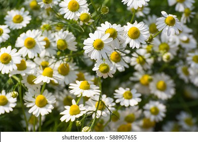 Chamomile garden / white flowers of German chamomile daisy.