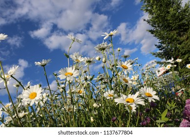 Chamomile garden. white flowers of Russian chamomile daisy. Beautiful nature scene with blooming medical chamomilles. Alternative medicine Spring Daisy. Summer flowers.