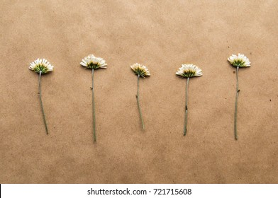 Chamomile herbarium composition on a craft paper