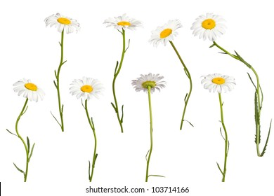 Chamomile isolated on white background