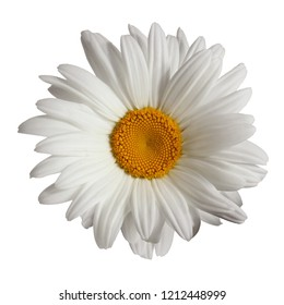 Chamomile isolated on white background. One flower close-up. daisy.