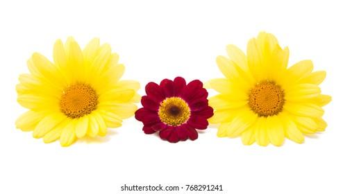 chamomile isolated on white background