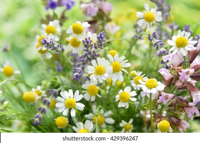 chamomile and lavender in garden