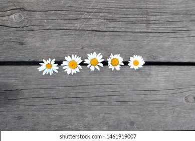 Chamomile lies in the gap between the gray wooden boards, top view