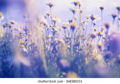 Chamomile meadow - Shutterstock ID 368380151