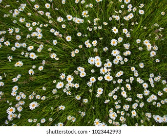 Chamomile meadow flowers. Beautiful nature scene with blooming chamomilles. Spring or summer background