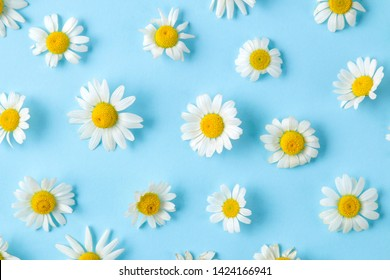 Chamomile. Medicinal little chamomile flowers on a gentle light blue background. background of flowers. top view