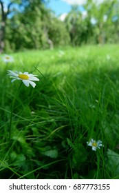 Chamomile on a background of green grass