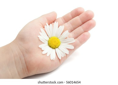 Chamomile on children's palm