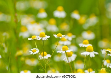 https://image.shutterstock.com/image-photo/chamomile-on-meadow-northern-germany-260nw-68079082.jpg