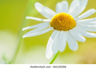 chamomile on the summer meadow