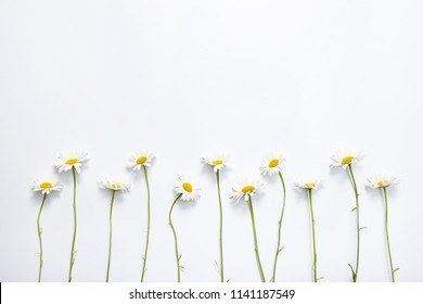 Chamomile on white background.