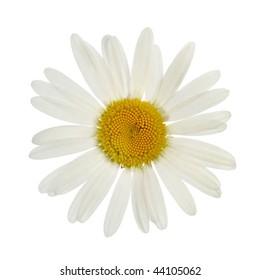 chamomile on white background